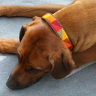 Hundehalsbänder - 2 cm breit